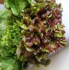 Mendels lettuce